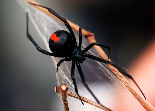 SPIDER PEST CONTROL EXPERTS FOR PERTH WA