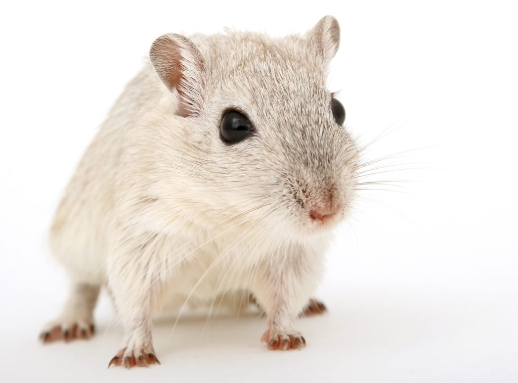Rat pest control Perth