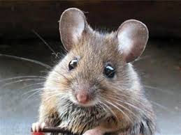 Mice Pest Control and Extermination